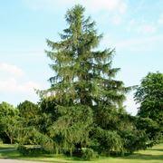 larice albero