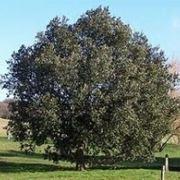 albero detto anche leccio