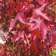 Le foglie del liquidambar orientalis