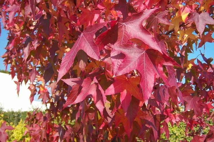 Le foglie del <em>liquidambar</em> orientalis