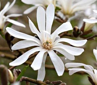 Fiore di magnolia stellata