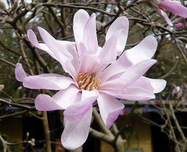 Magnolia stellata rosata