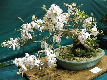 Magnolia stellata bonsai