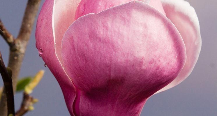 magnolia bulbo