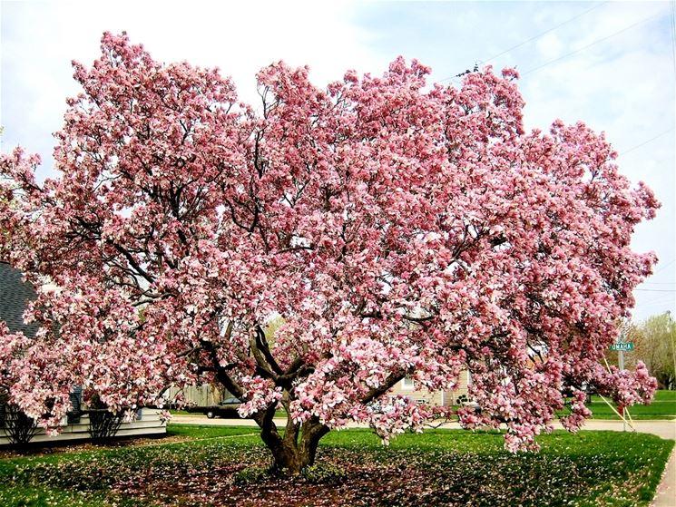 Magnolia magnolia grandiflora alberi caratteristiche - Ciliegio da giardino ...