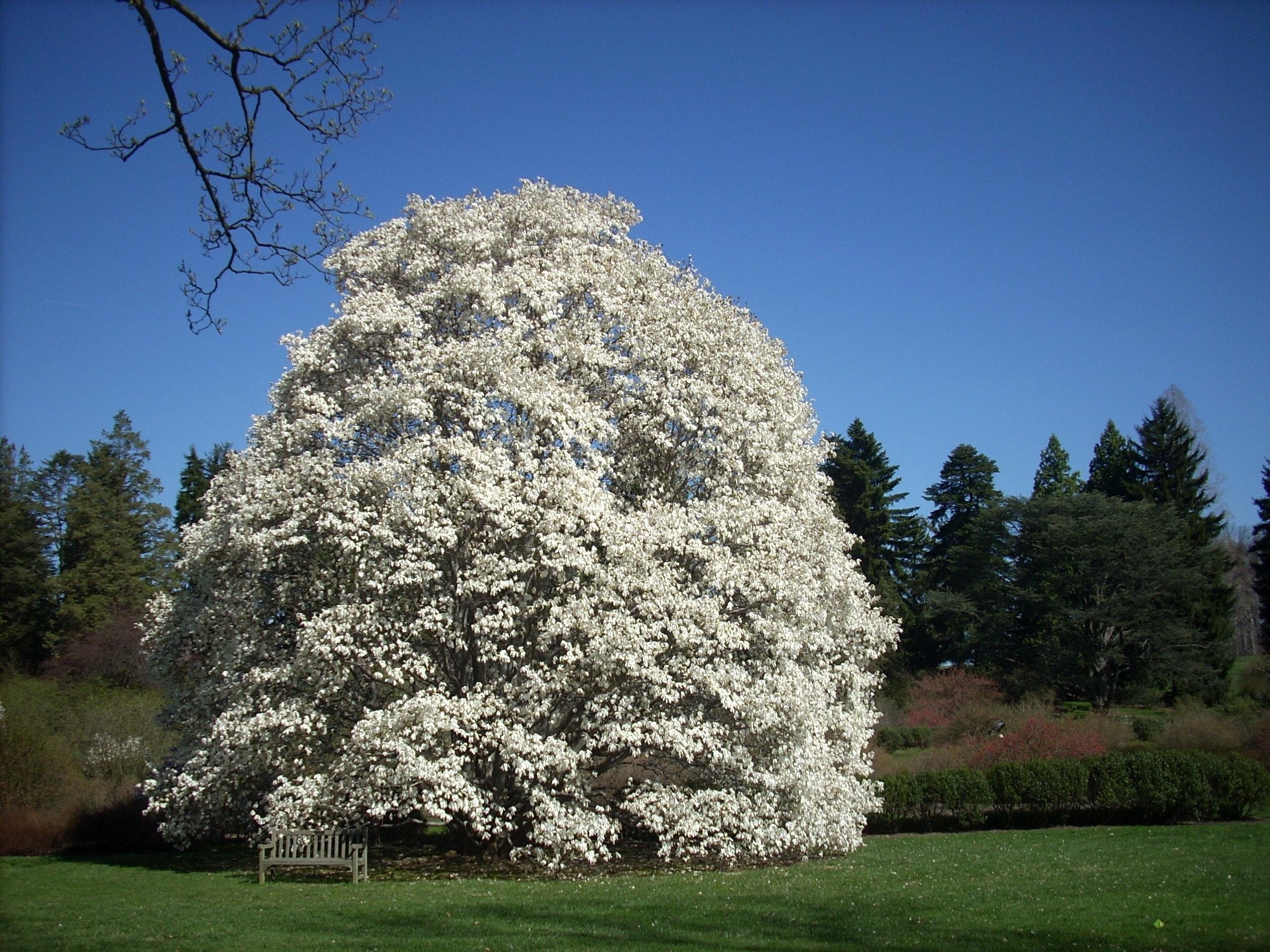 Albero Con Fiori Bianchi magnolia - magnolia grandiflora - alberi - caratteristiche