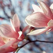 magnolia fiore