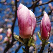 magnolia significato
