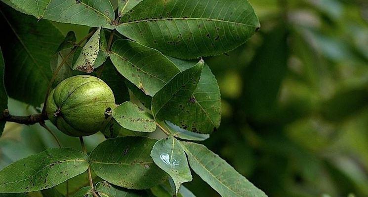 Noce americano alberi noce americano albero - Alberi frutto giardino ...