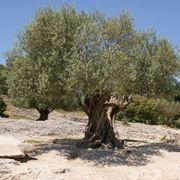 Albero d'ulivo