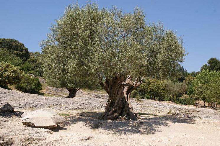 Olivo o ulivo alberi olivo o ulivo - Grandi alberi da giardino ...