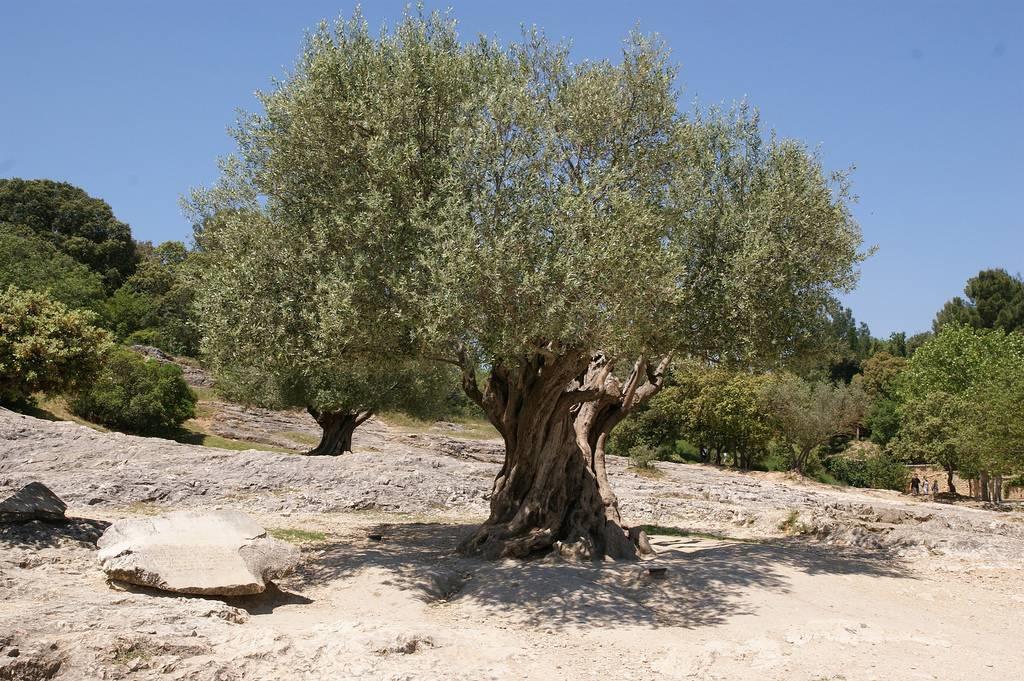 Olivo o ulivo alberi olivo o ulivo - Albero da giardino ...
