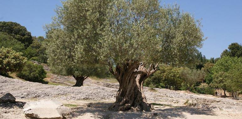 <h6>Olivo o ulivo</h6>Sulle nostre tavole non pu� di certo mancare l�olio di oliva. Scopri origini e propriet� dell�olivo, l�albero pi� apprezzato dal popolo italiano