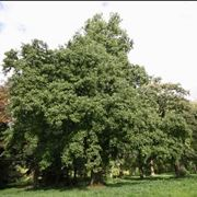 ontano albero
