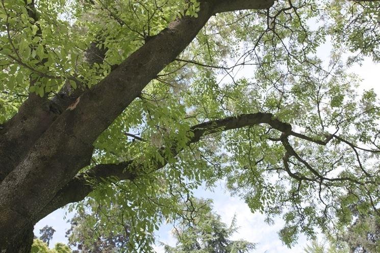 Fiori albero orniello