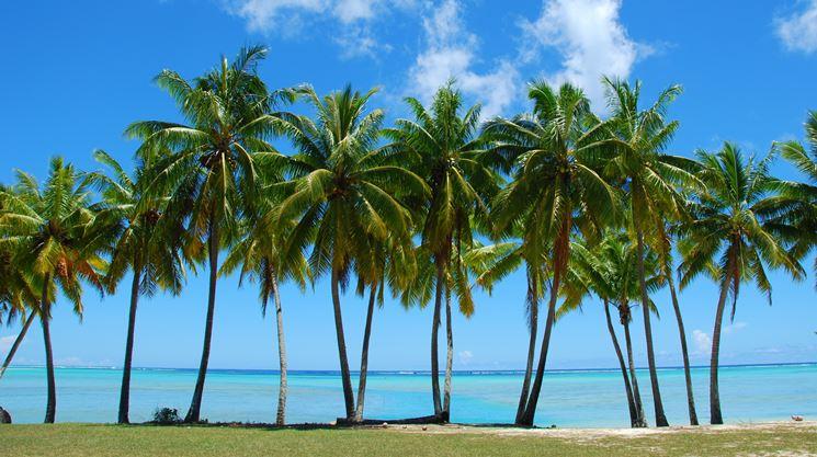 foto palma nana