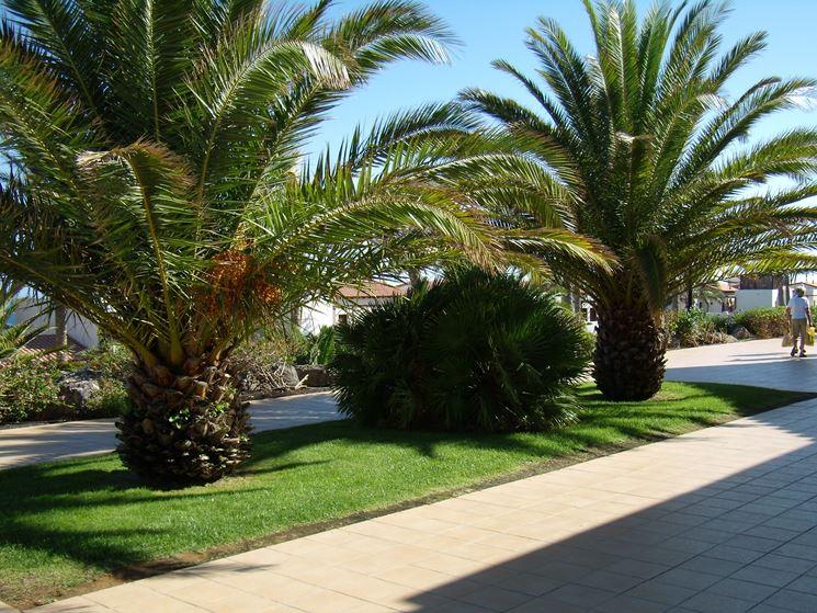 Palma cycas revoluta alberi caratteristiche della palma - Costo palma da giardino ...