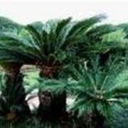 palma cycas