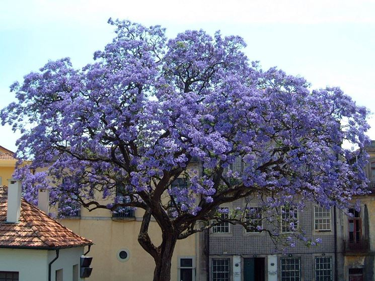 Paulonia alberi paulonia - Prezzi alberi da giardino ...