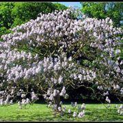 paulownia albero prezzo