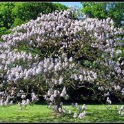 Grande albero di Paulownia tomentosa.