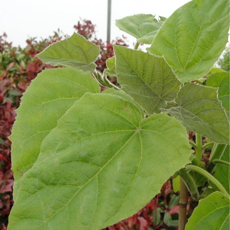 Dettaglio fogliame Paulownia tomentosa.