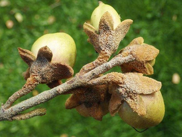 Noci contenenti i semi della Paulownia tomentosa.