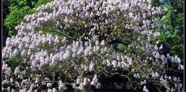 <h6>Paulownia tomentosa</h6>Una pianta bella e facile da coltivare, scopri con noi tutti i segreti per la sua cura.