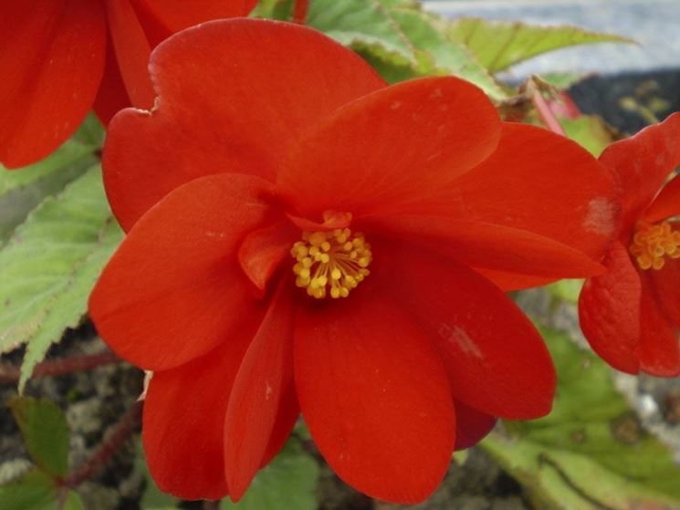Piante con fiori alberi piante con fiori caratteristiche for Alberi da giardino con fiori