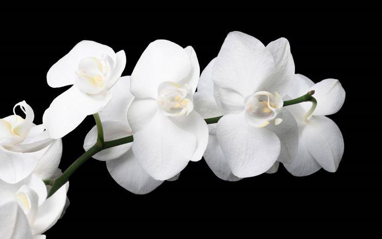 Ramoscello di Orchidea Bianca