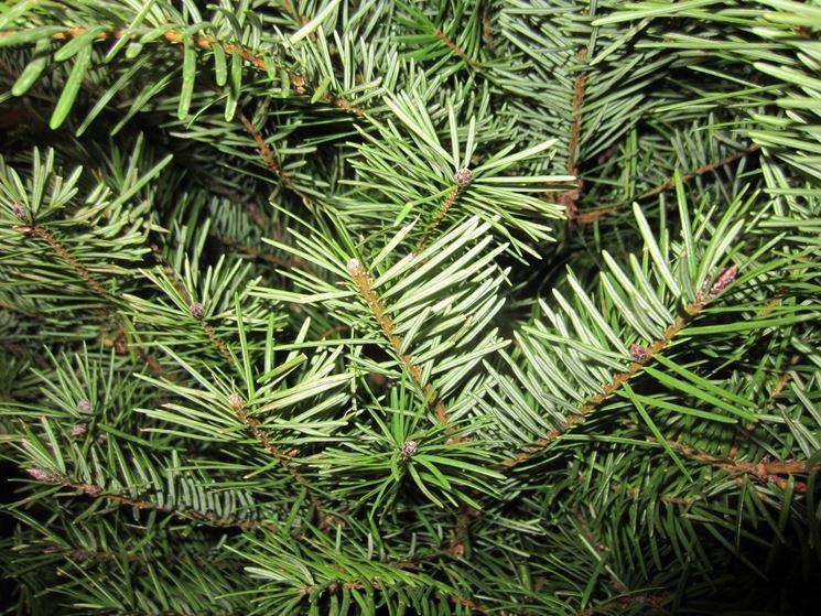 Rami pino argentato
