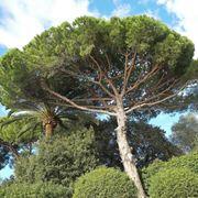 Veduta panoramica di un pino d