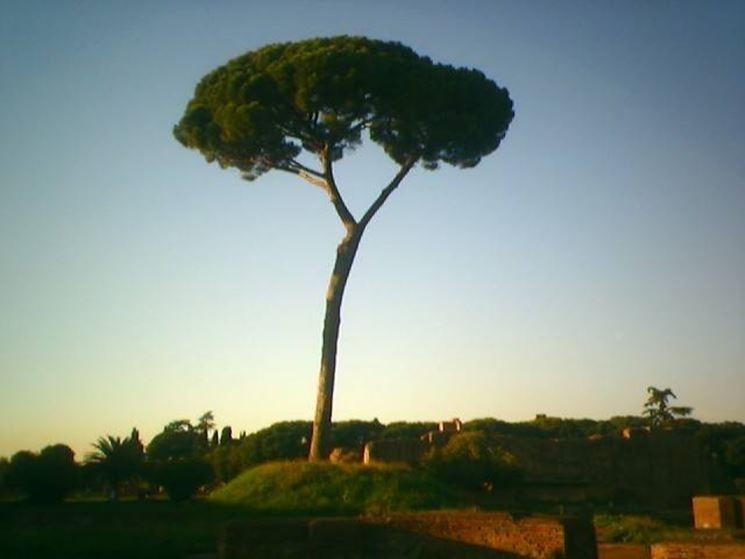 Immagine di un pino domestico a Roma