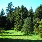 albero di pino