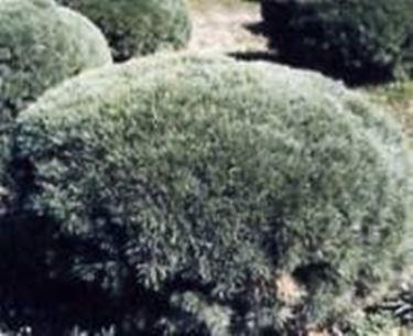 foto pino silvestre
