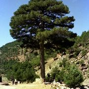 Il pino comune