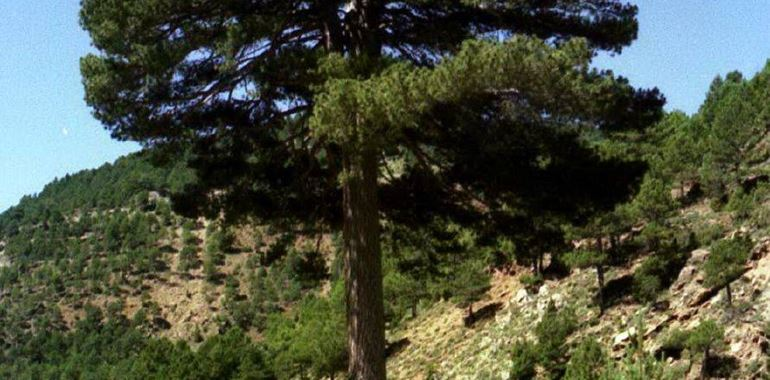 <h6>Pinus pinea</h6>Il pinus pinea o pi� conosciuto come pino marittimo � uno degli arbusti che pi� facilmente possiamo riconoscere nelle pinete o lungo le coste: scoprine tutte le caratteristiche!