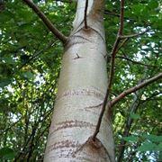 pioppi alberi