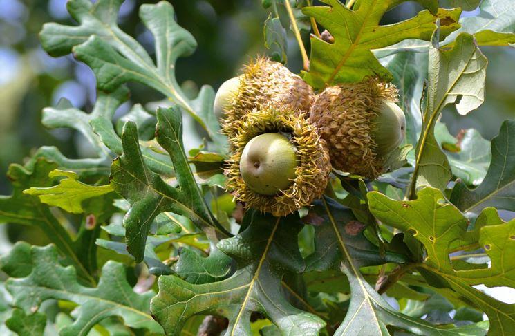 quercus palustris habitus