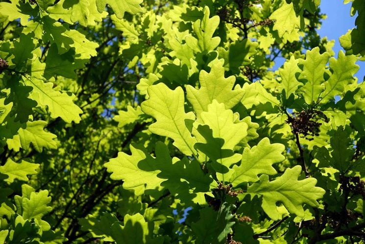 foglie quercia