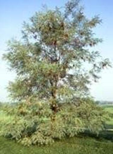 Robinia - Robinia pseudoacacia - Alberi