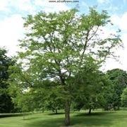 robinia pianta