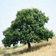 Roverella quercus alberi for Quercia sempreverde