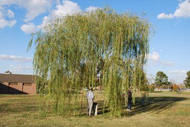 Salice piangente salix babylonica alberi coltivare il salice - Alberi da giardino a crescita rapida ...