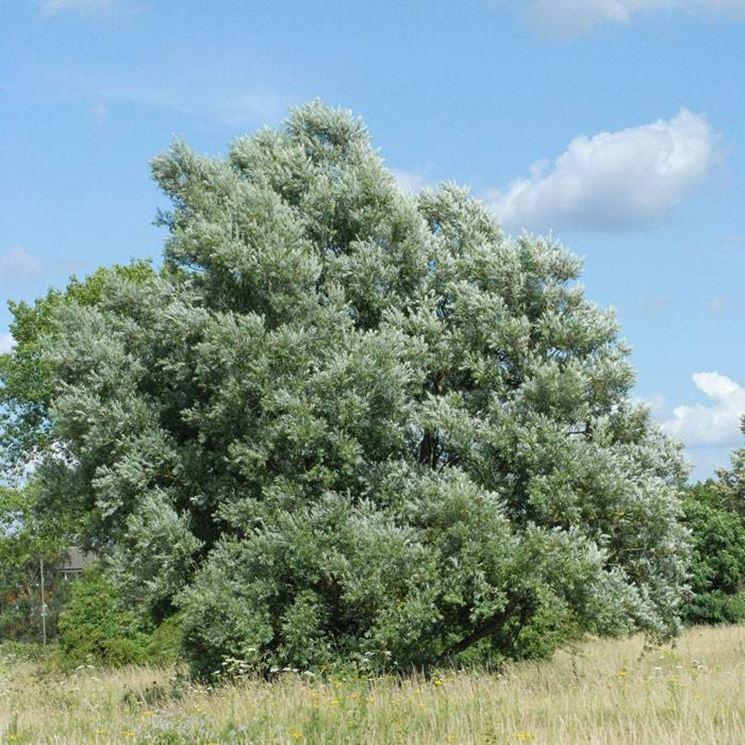 Esemplare di Salix alba