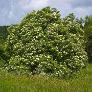 albero di sambuco