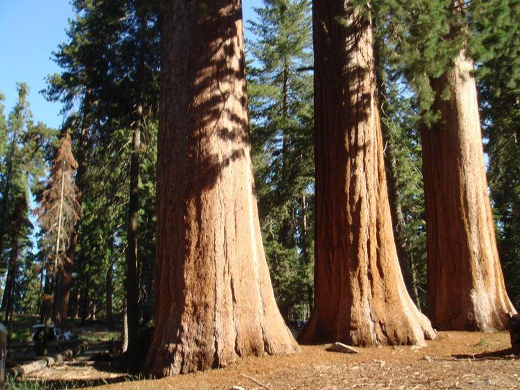 Sequoie viste dal bassoFonte: http://www.treesofmystery.net