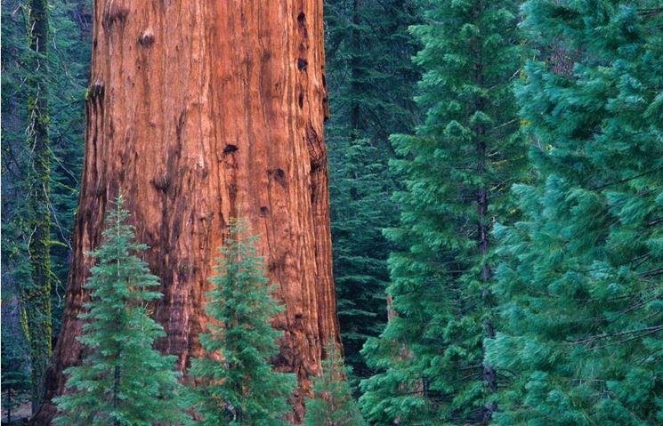 Foresta di sequoieFonte: http://www.viewsfromthekitchen.co.uk