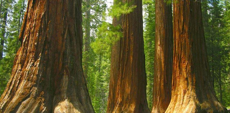 <h6>Sequoia gigante</h6>Imponente e maestosa, la sequoia gigante non pu� di certo lasciarci indifferenti. Scopri caratteristiche, tecniche di coltivazione e molto altro su questa bellissima pianta!
