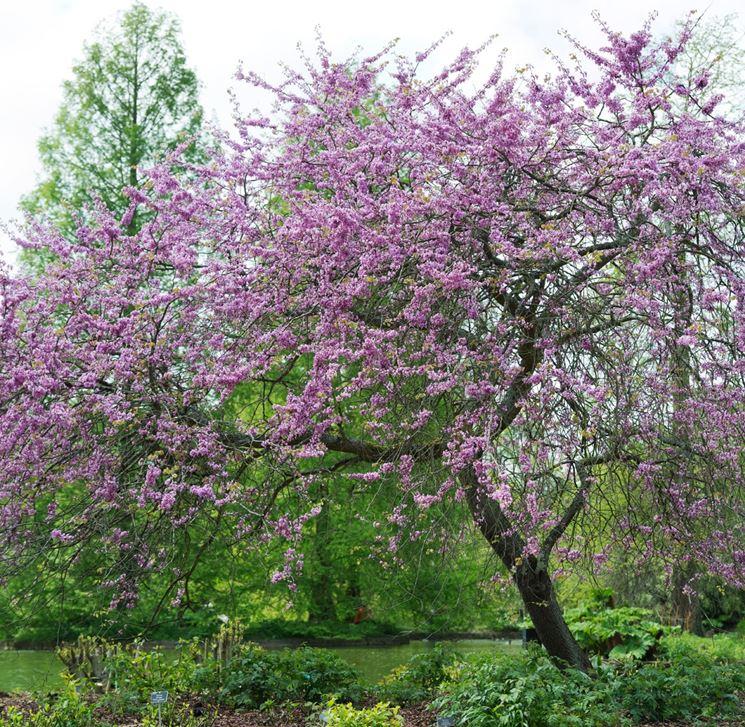 Siliquastro alberi albero di giuda - Alberi giardino piccolo ...